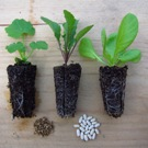 Three plugs, seedlings and their seeds.