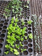 Flat with garden seedlings.
