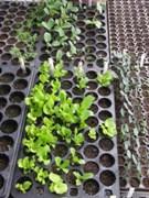Flat with garden seedlings.