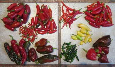 Collection of peppers from Tim Magee's rooftop garden.