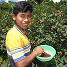 Boy in Guatemala picking raspberries.