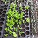 New seedlings in seed flat.
